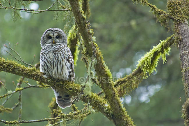 Adult barred owl perching on mossy tree branch in rain forest,. — Stock Photo