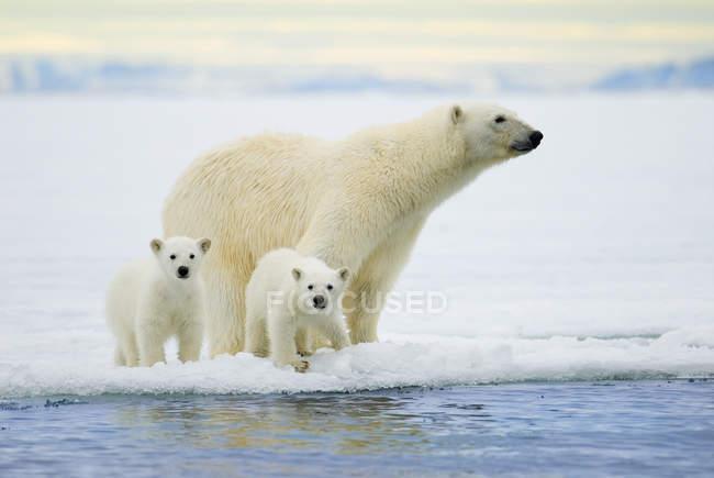 Полярний ведмідь з ведмежатами полювання на pack льоду на архіпелазі Шпіцберген, арктичної Норвегії — стокове фото