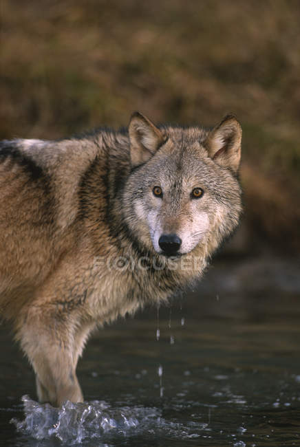 Wolf standing in river water of Montana, United States of America — Stock Photo