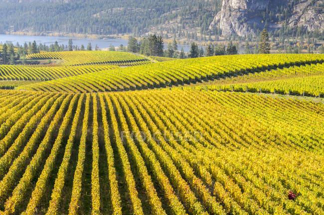Vineyard fields and Okanagan river in Okanagan valley, British Columbia, Canada. — Stock Photo