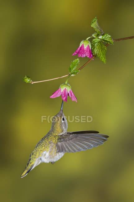 Colibri d'Anna femelle alimentation à fleur, gros plan. — Photo de stock