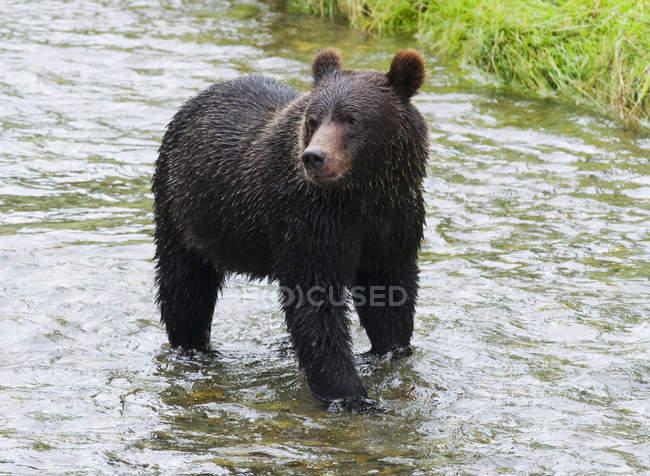 Urso pardo em pé e caça na desova fluxo de Fish Creek em Tongass floresta nacional, Alaska, Estados Unidos da América. — Fotografia de Stock