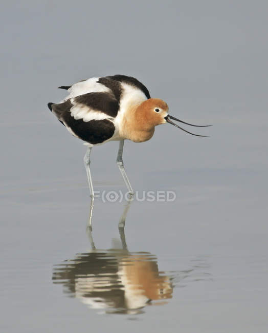 American avocet bird hunting in lake water, close-up. — Stock Photo