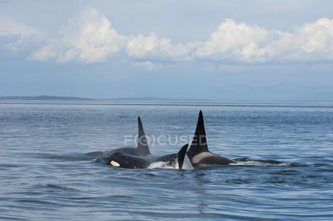 Sul orcas residentes na água por Pender Island no Canadá — Fotografia de Stock