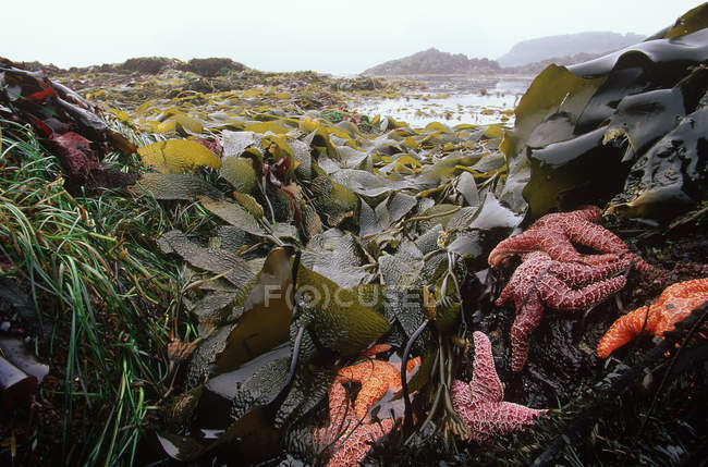 Starfish and kelp at Mackenzie Beach, Tofino, Pacific Rim National Park, Vancouver Island, British Columbia, Canada. — Stock Photo