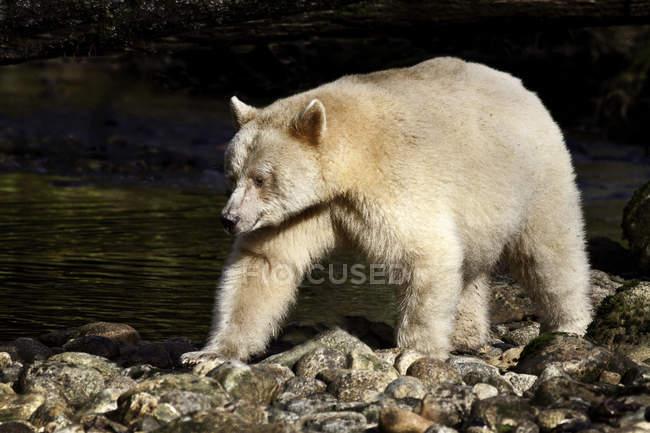 Urso de Kermode em Great Bear Rainforest da Colúmbia Britânica, Canadá — Fotografia de Stock