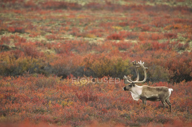 Barren-ground caribou bull standing on autumnal meadow in Arctic Canada — Stock Photo