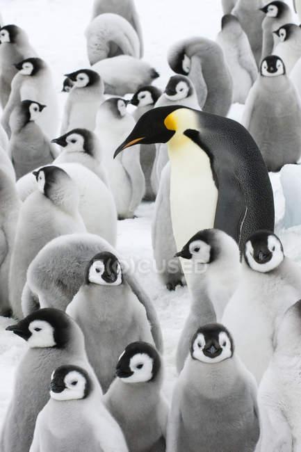 Пингвин и цыплята, остров Сноу Хилл, Антарктический полуостров — стоковое фото