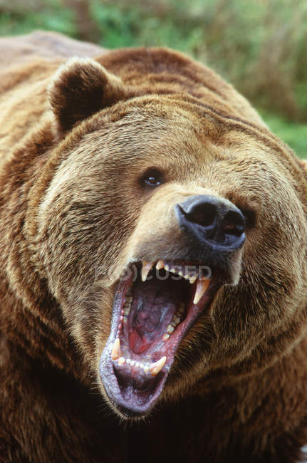 Grizzly bear snarling and roaring, close-up portrait. — Stock Photo