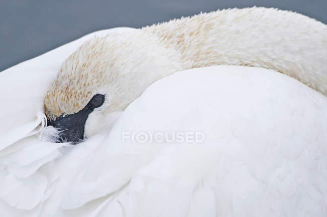Trompeterschwan versteckt Kopf in Federn während er ruht, Nahaufnahme. — Stockfoto