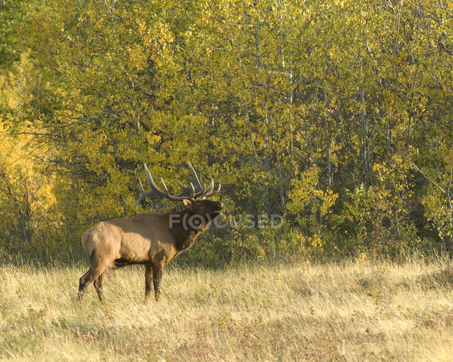 Side view of elk giving bugling call in forest of Alberta, Canada. — Stock Photo