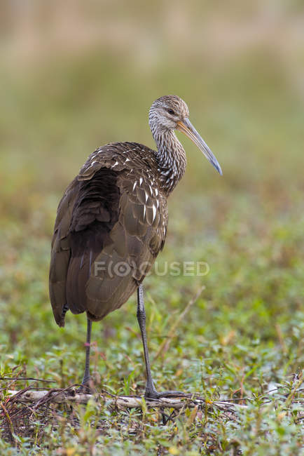 Limpkin bird perched on branch in wetland of Florida — Stock Photo
