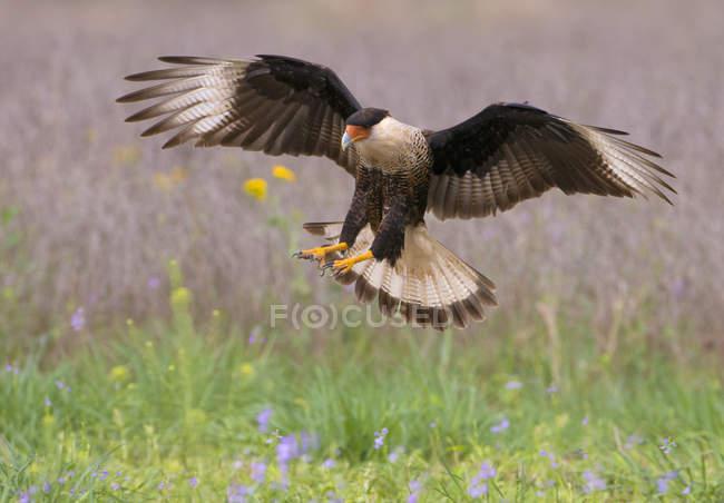 Crestato caracara atterraggio sul prato verde. — Foto stock