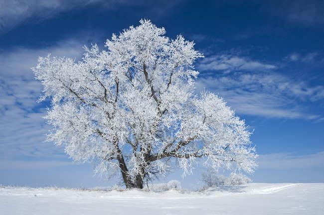 Champ enneigé avec arbre couvert de givre près de Winnipeg, Manitoba, Canada — Photo de stock