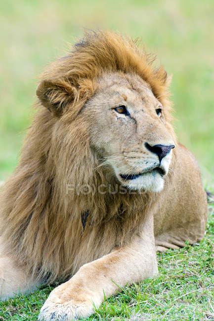 Ritratto di leone africano riposante in habitat naturale della Riserva Masai Mara, Kenya, Africa orientale — Foto stock