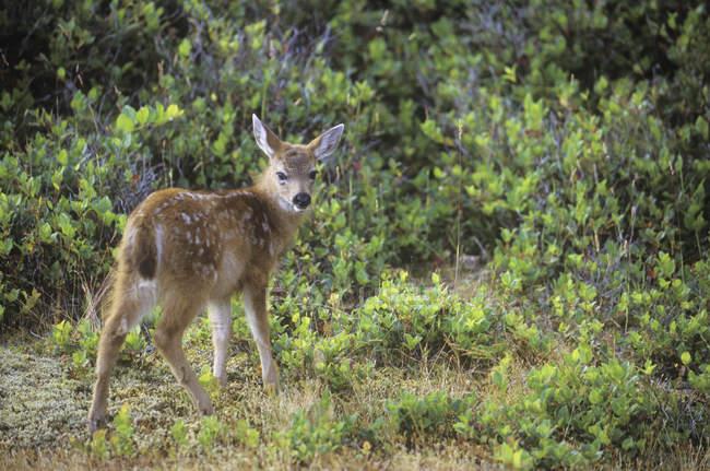 Sitka preto – tailed Deer Fawn arbustos verdes — Fotografia de Stock