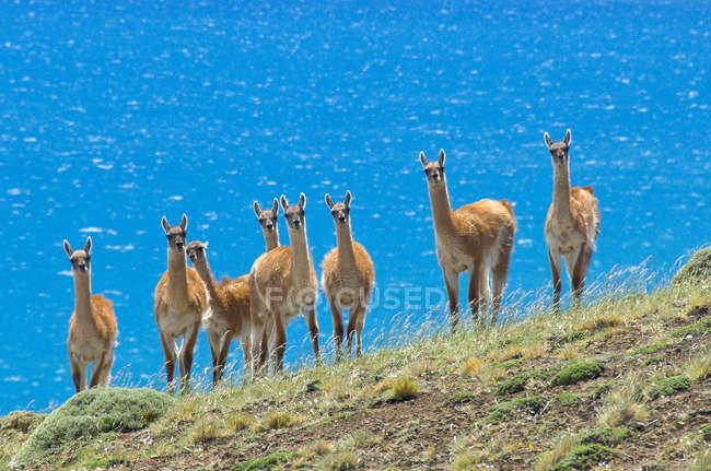 Rebanho de guanacos na frente do Lago Sarmiento no sul da Patagônia, Parque Nacional Torres del Paine, Chile — Fotografia de Stock