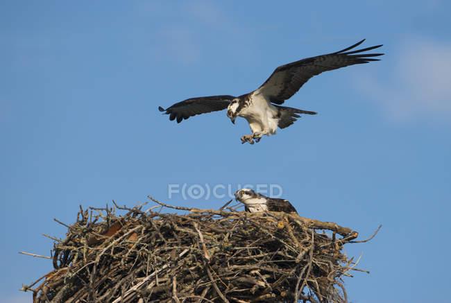 Volo sul nido contro il cielo blu del falco di falco pescatore — Foto stock