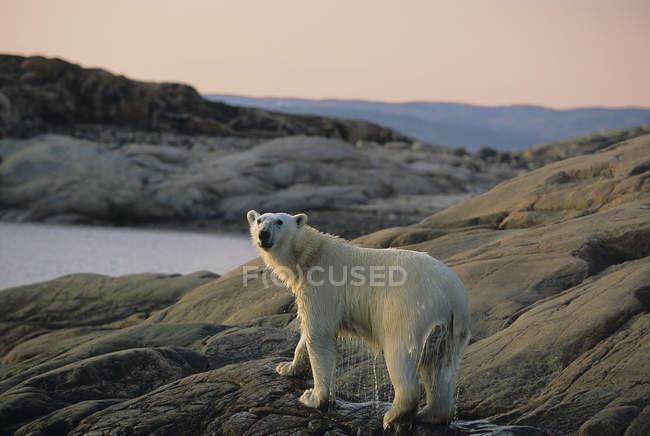 Eisbär spaziert an felsiger Küste im Ukusiksalik Nationalpark in Kanada — Stockfoto