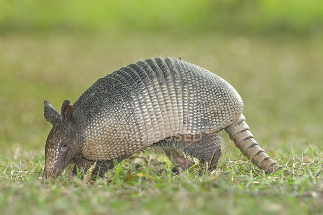 Foraging nine-banded armadillo in Florida, USA — Stock Photo