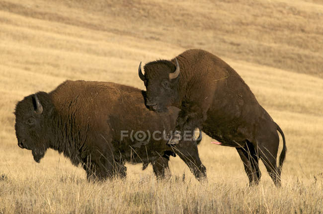 Bisontes americanos acasalamento nas pastagens no Parque Nacional de Wind Cave, Dakota do Sul, Estados Unidos da América. — Fotografia de Stock