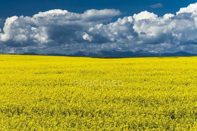 Campo di colza in fiore nel sud dell'Alberta, Canada — Foto stock