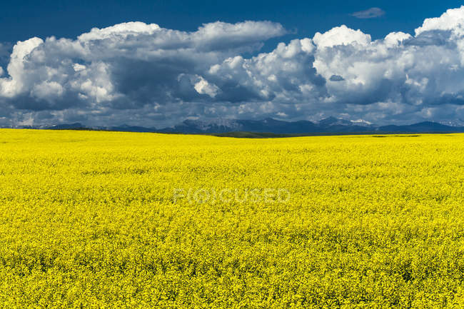 Canola field in bloom in southern Alberta, Canada. — Stock Photo