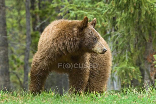 Zimtfarbener amerikanischer Schwarzbär weidet auf Gras am Straßenrand in felsigen Bergen, Alberta, Kanada — Stockfoto
