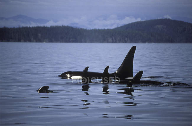 Orca китів плавання у воді біля острова Ванкувер, Британська Колумбія, Канада — стокове фото