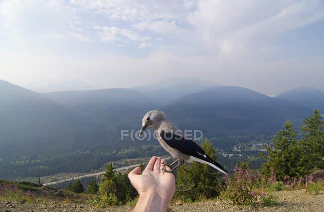 Clark lo Schiaccianoci uccello appollaiato sulla mano maschio nelle montagne di Similkameen regione, Columbia britannica, Canada — Foto stock