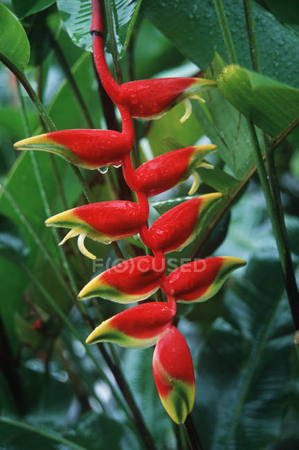 Helconia red flowers growing in tropical rain forest of Costa Rica — Stock Photo