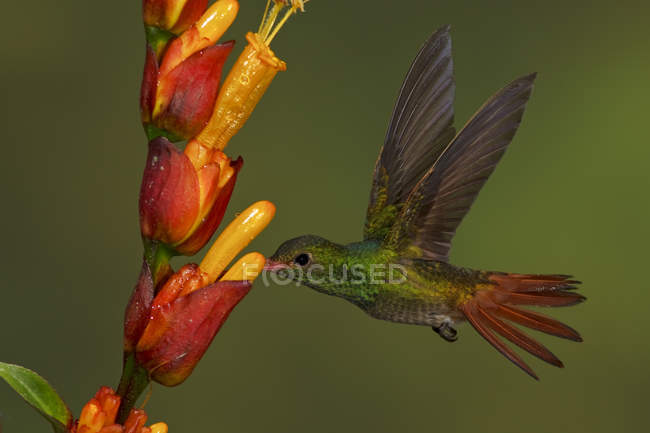 Rufous-tailed hummingbird feeding at flowers in flight in tropical rain forest. — Stock Photo