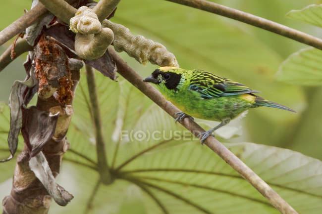 Grün-goldener Tanager auf exotischem Ast in Ecuador. — Stockfoto