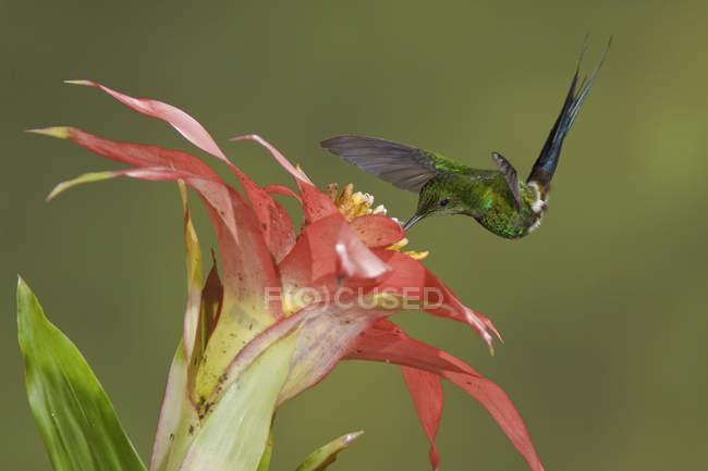 Крупный план кормления колибри зеленого хвоста в полете на тропическом цветущем заводе . — стоковое фото