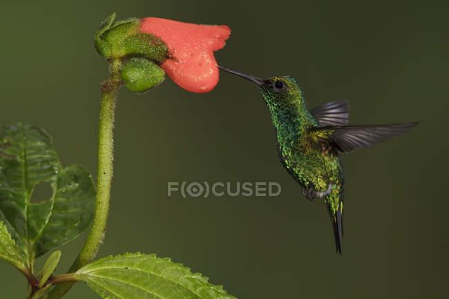 Colibrí esmeralda occidental alimentándose en flor en vuelo, primer plano . - foto de stock
