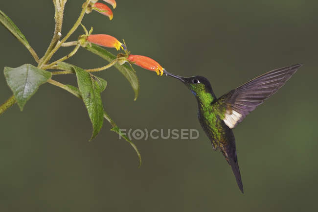 Buff-winged starfrontlet flying and feeding at flowers in tropical forest. — стокове фото