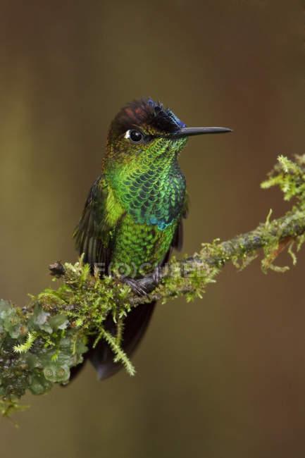 Brillanter Kolibri mit violetten Stirnseiten thront auf einem Ast in Ecuador. — Stockfoto