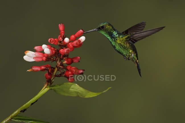 Colibrí esmeralda occidental alimentándose de flores en vuelo, de cerca . - foto de stock
