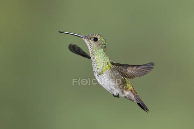 À queue dorée saphir Colibri en vol à l'extérieur. — Photo de stock