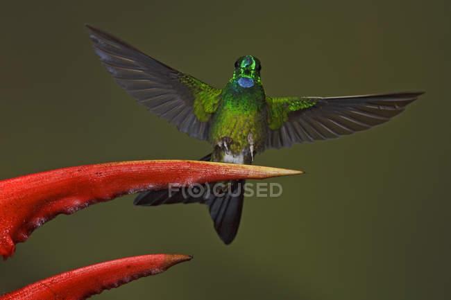 Зелений коронований блискучий колібрі сідати в екзотичних квітка, Закри. — стокове фото