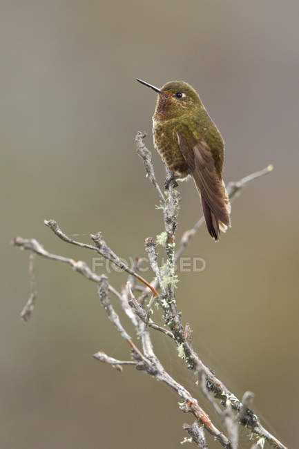 Metaltail viola-throated appollaiato sul ramo in Ecuador. — Foto stock
