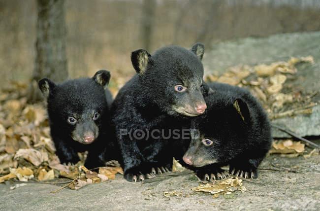 Ведмідь ведмежат вивчення землі у Натал Ден в штат Пенсільванія, США. — стокове фото