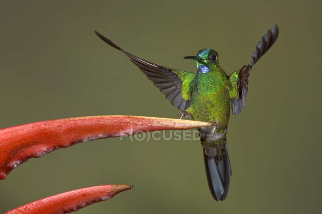 Colibrì brillante verde-incoronato appollaiato al fiore esotico, close-up. — Foto stock