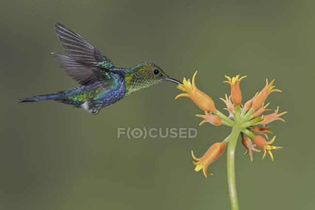 Colorido woodnymph bifurcación cola flotando mientras se alimentan en las flores en vuelo. - foto de stock