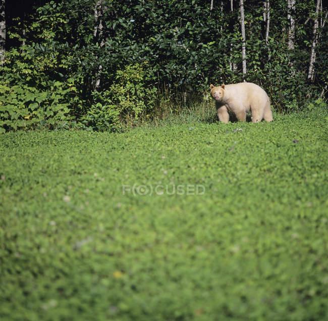 Кермодський несуть стоячи на лугу, біля центрального узбережжя, Британська Колумбія, Канада. — стокове фото