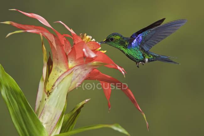 Изумрудно-брюхая лесная нимфа кормится цветами во время полета в лесу . — стоковое фото