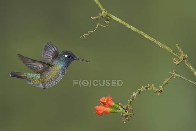 Colibrí cabeza violeta alimentación flores volando en el bosque. - foto de stock