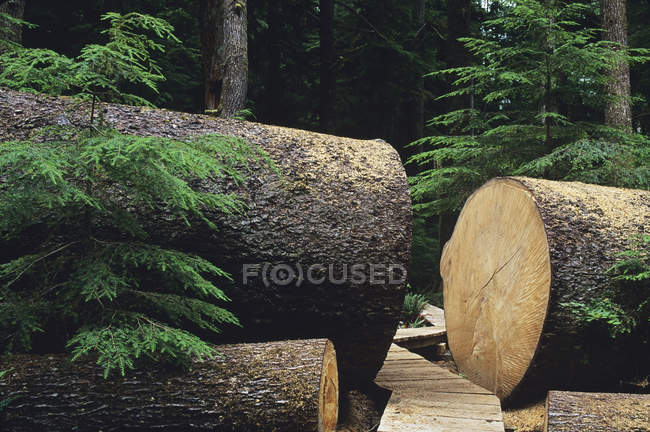 Large fallen Sitka Spruce trees in Carmanah Provincial Park, British Columbia, Canada. — Stock Photo
