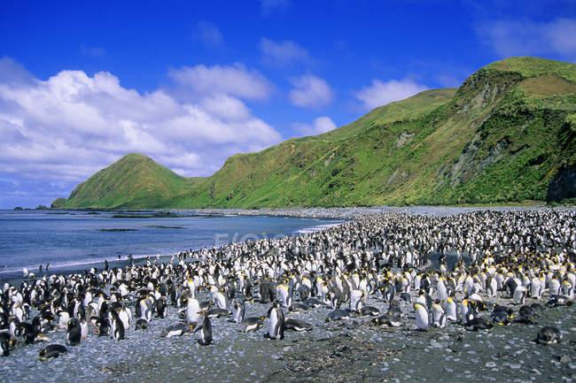 Королевские пингвины и Королевские пингвины шляться на пляже в заливе Lucitania, острова Маккуори, Австралия — стоковое фото