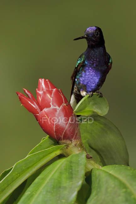 Couronne de velours pourpre perché sur une fleur exotique, gros plan. — Photo de stock